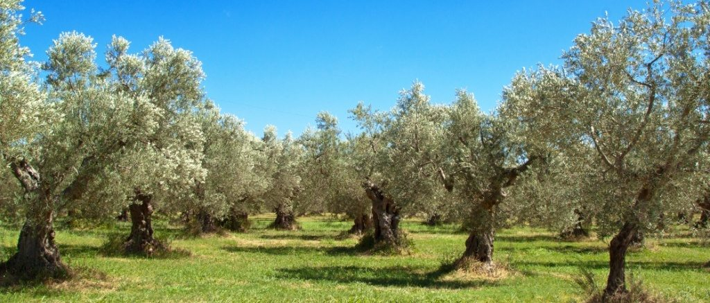 moisturin protects olive trees