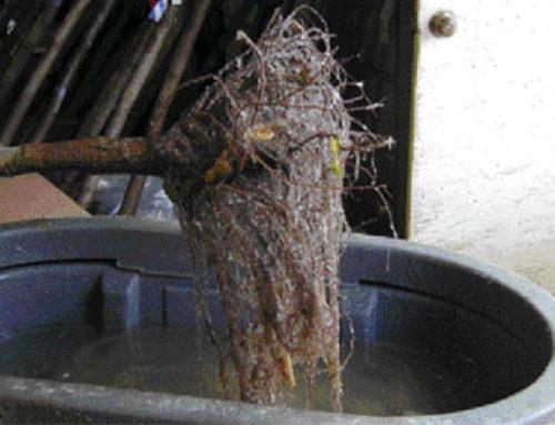 Moisture-Loc Antitranspirant and Bare Root Storage