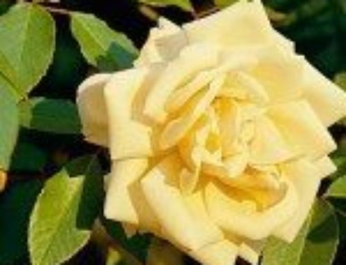 Protect Roses from Winter Dessication